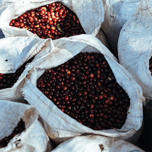 Overhead shot of coffee cherries in fabric sacks