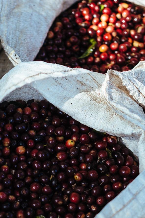 Overhead shot of coffee cherries in two burlap sacks