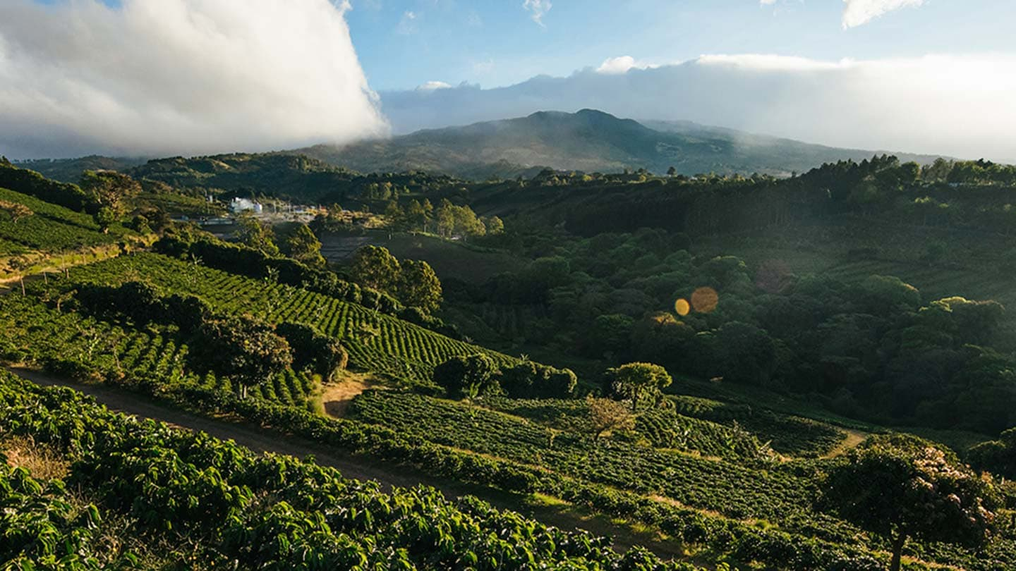 Sloping mountain filled with coffee trees in the early morning