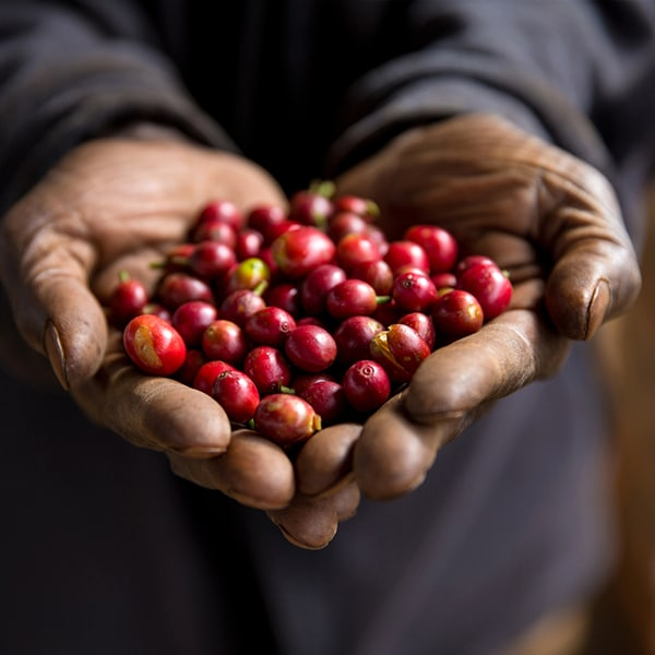 Open hands holding a bunch of coffee cherries