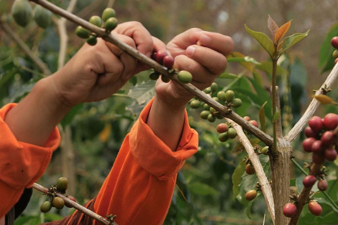 A child's hands picking coffee cherries off of a branch